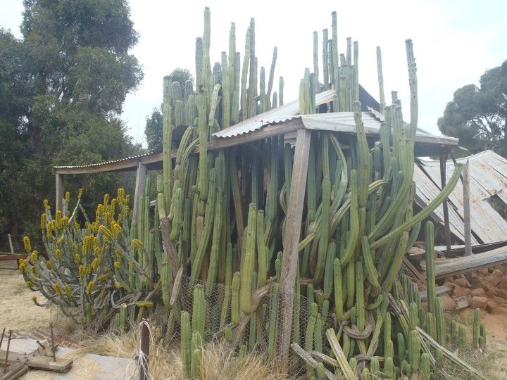 how to grow san pedro cactus from cutting